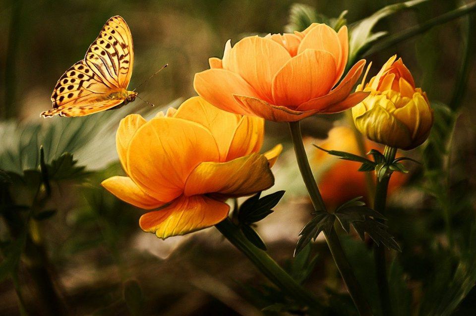le farfalle scelgono i fiori del podere poderaccio 2